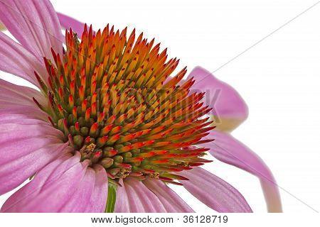 Single echinacea flower on white background