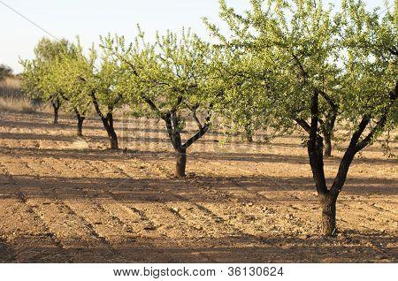 Almond Plantation Trees