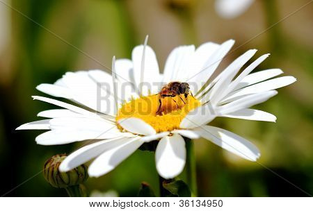 Daisy and a fly...