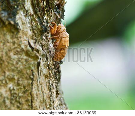 Cicada Exoskeleton Skin Nicaragua