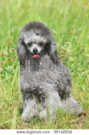 Toy Poodle On Green Grass