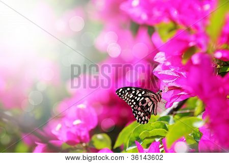 Majestic Morning Scene With Butterfly Feeding On Nectar Of A Bouganvillea Flower With Sunrays And Be
