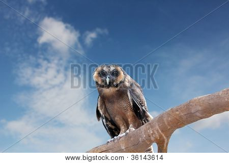 Brown Wood Owl Perching On An Old Wood Branch And Looking For Prey. Its Scientifc Name Is Strix Lept