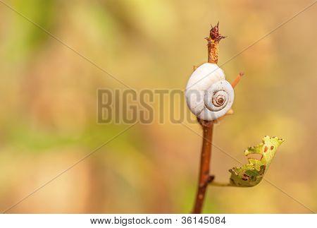 Snail Garden Snail Crawling On A Stem