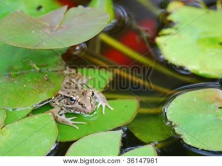 Bullfrog (rana Catesbeiana) In Koi Pond