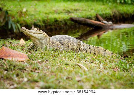 Jacaretinga (Caiman crocodilus) pelo Rio