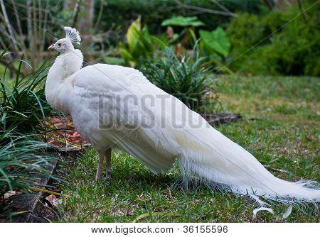 White Peacock