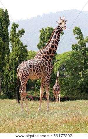 zwei afrikanischen Ursprungs-Giraffe stehend in einem Gehege im Zoo von Mysore in Indien. Sie sind wissenschaftlich