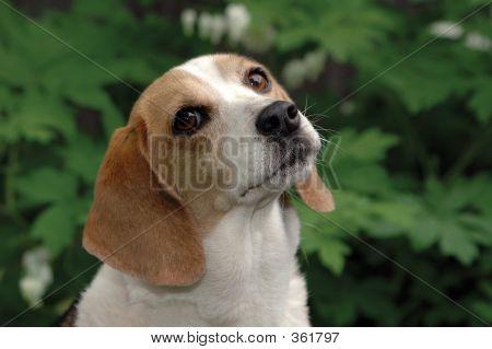 Beagle soulful