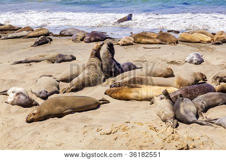 Sealions At The Beach