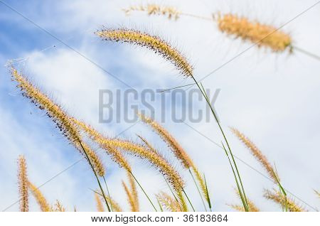 Foxtail Weed In The Nature
