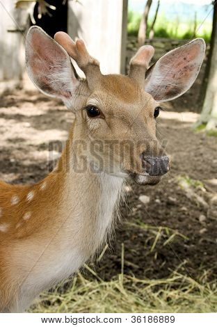 Young Deer - One Year.