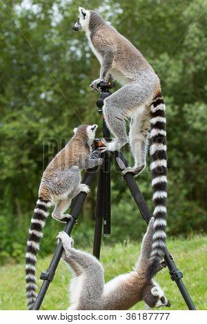 Ring-tailed Lemurs Sitting On Tripod