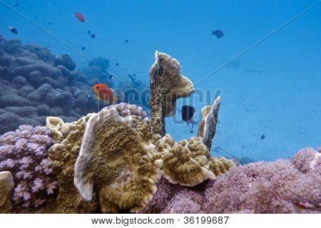 coral reef with fire coral and exotic fishes