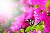 stock photo of color spot black white  - Majestic morning scene with butterfly feeding on nectar of a bouganvillea flower with sunrays and beautiful bokeh in the background - JPG