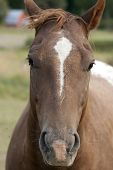 stock photo of appaloosa  - Close up head shot of an Appaloosa horse - JPG