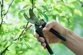 foto of prunes  - Pruning of trees with secateurs in the garden - JPG