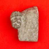 foto of paleozoic  - Trilobite fossil isolated on a red background - JPG