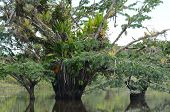 picture of epiphyte  - Rare photos of macrolobium trees in the flooded forest at Laguna Grande - JPG