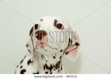 Peevish Dalmatian