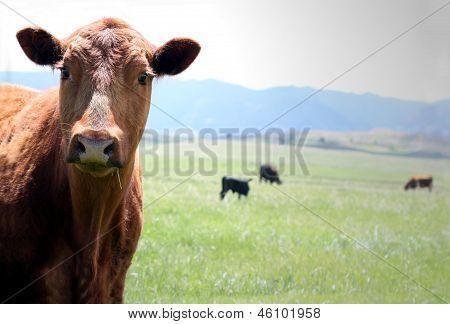 Field Cow