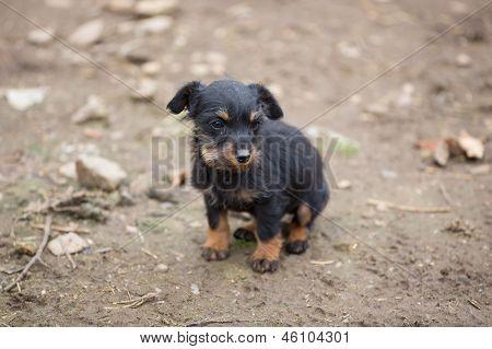 Small brown dachshund closeup