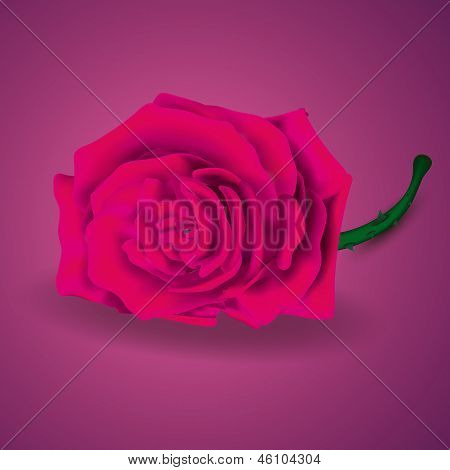 Pink Rose On Purple Background for Velentine's day