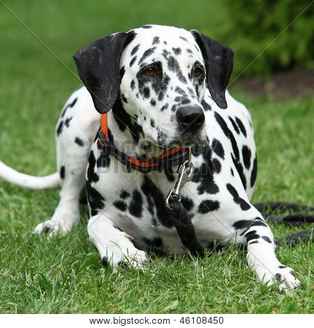 Beautiful Dalmatian Bitch Lying