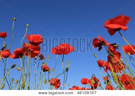 nice red poppy on blue sky background