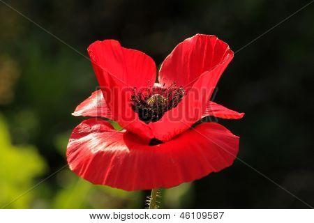 Big poppy flower in morning light
