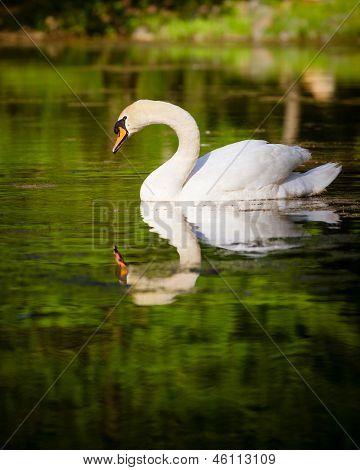 Swan swimming in mountain lake during spring
