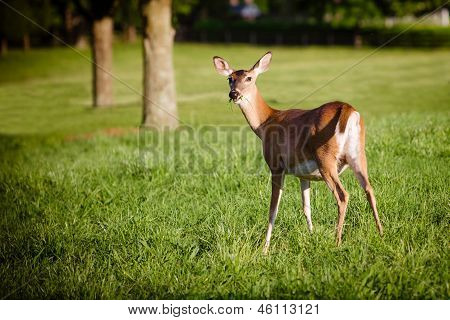 Portrait of pregnant whitetail deer doe, Odocoileus virginianus,  grazing in field during spring