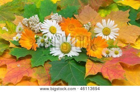 Chamomile, Calendula And Yarrow On The Background Of Autumn Leaves