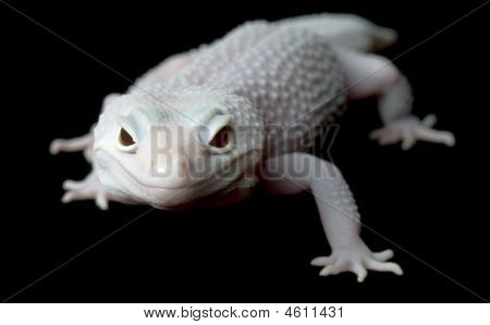 Mack Blazing Blizzard Gecko (female)