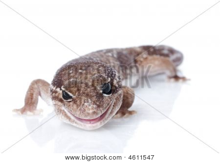 Jungle Male Fattailed Gecko