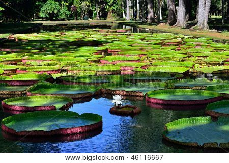 Victoria Amazonica