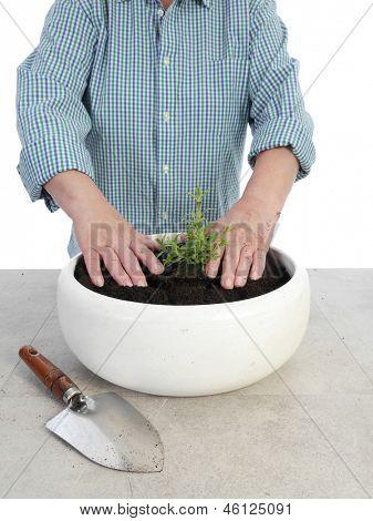 Female senior gardener planting aspic seedling in big white ceramic pot