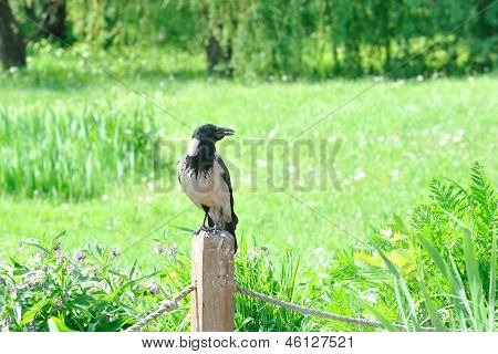Jackdaw sits on  wooden column holding in its beak  crumb.