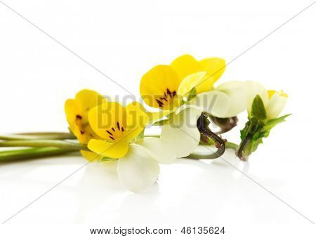 Little wild pansies, isolated on white