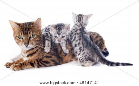 Bengal Kitten And Adult