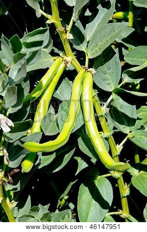 Mature broad bean pods on plant.