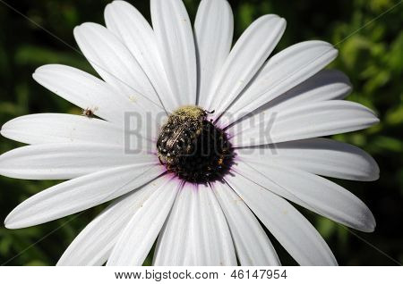 White Osteospermum and beetle.