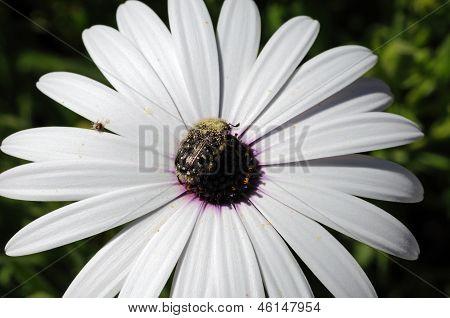White Osteospermum and beetle.