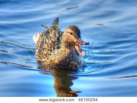 Female Mallard Swimming In High Dynamic Range