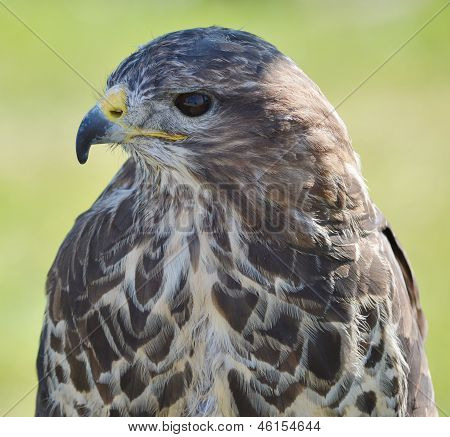 Head And Shoulders Of A Buzzard