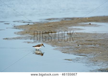 Dunlin walkin in sea water at low tide
