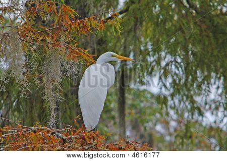 Egret On Cypress