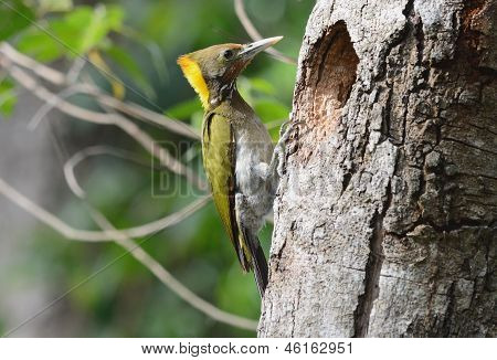 Greater Yellownape Woodpecker (picus Flavinucha)