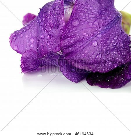 Petals Of A Flower Of An Iris On A White Background.