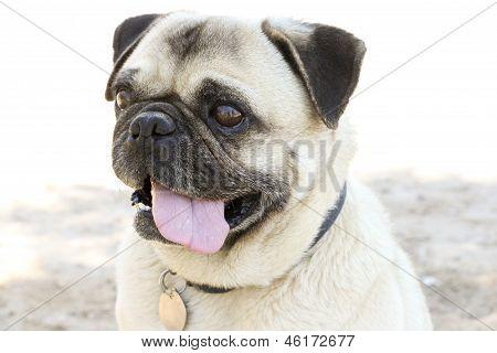 Pug Tongue